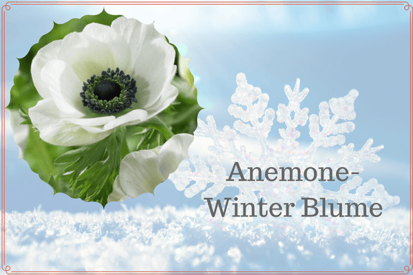 Anemone-Winter Blume