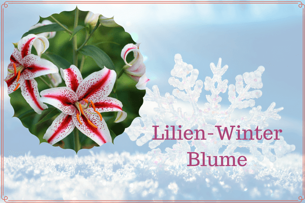 Lilien-Winter Blume