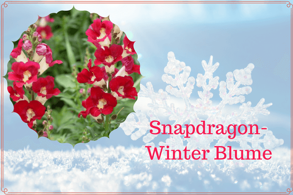 Snapdragon-Winter Blume