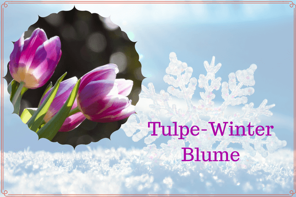 Tulpe-Winter Blume